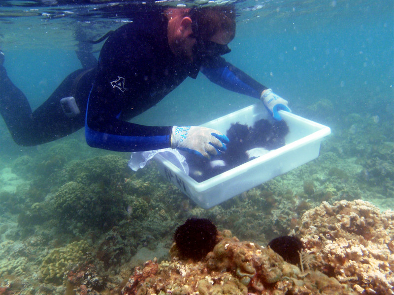Department of Land and Natural Resources Division of Aquatic Resources diver placing native collector sea urchins on a patch reef to study the effect of sea urchin grazing on algae abundance.