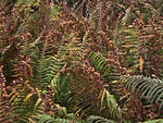 image of Dryopteris sp.