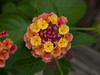 Lantana camara : taxon: Lantanacamara