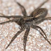 Lycosa hawaiiensis : Lycosa hawaiiensis Simon, 1899; common names: wolf spider
