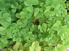 Marsilea villosa : 