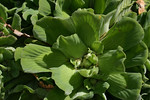 image of Pistia stratiotes