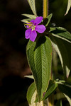 image of Tibouchina herbacea