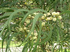 Acacia koa : taxon: Acacia koa family: Fabaceae common name(s): koa