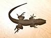 Anolis sagrei : taxon: Anolissagrei family: Polychrotidae common name(s): brown anole