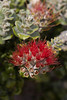 Metrosideros polymorpha : taxon: Metrosideros polymorpha family: Myrtaceae common names: ohia, ohia lehua (For more images of this species, see: Starr images of Metrosiderospolymorpha)