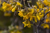 Sophora chrysophylla : taxon: Sophora chrysophylla family: Fabaceae; common names: mamane (For more images of this species, see: Starr images of Sophorachrysophylla)