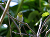 Zosterops japonicus : taxon: Zosterops japonicus family: Zosteropidae common name(s): Japanese white-eye, majiro